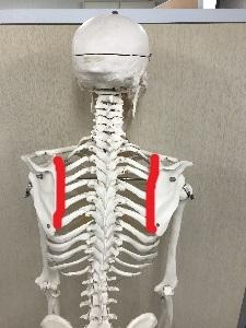 赤い部分が肩甲胸郭関節